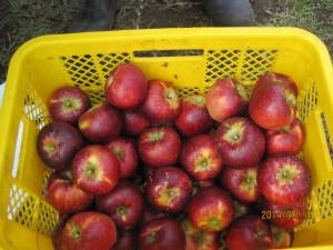 りんごは何にも言わないけれど・・・♪゜・*:.。. .。.:*・♪