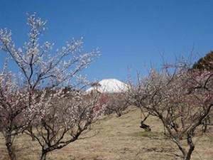 冨士山と梅❀