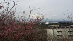 桜 開花❀
