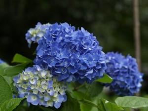 6月♪゜・*紫陽花:.。. .。.:*・♪